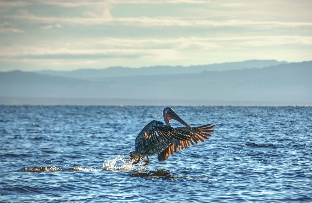 Brown Pelican takes off