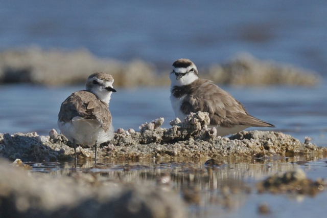 2 Plover looking forward