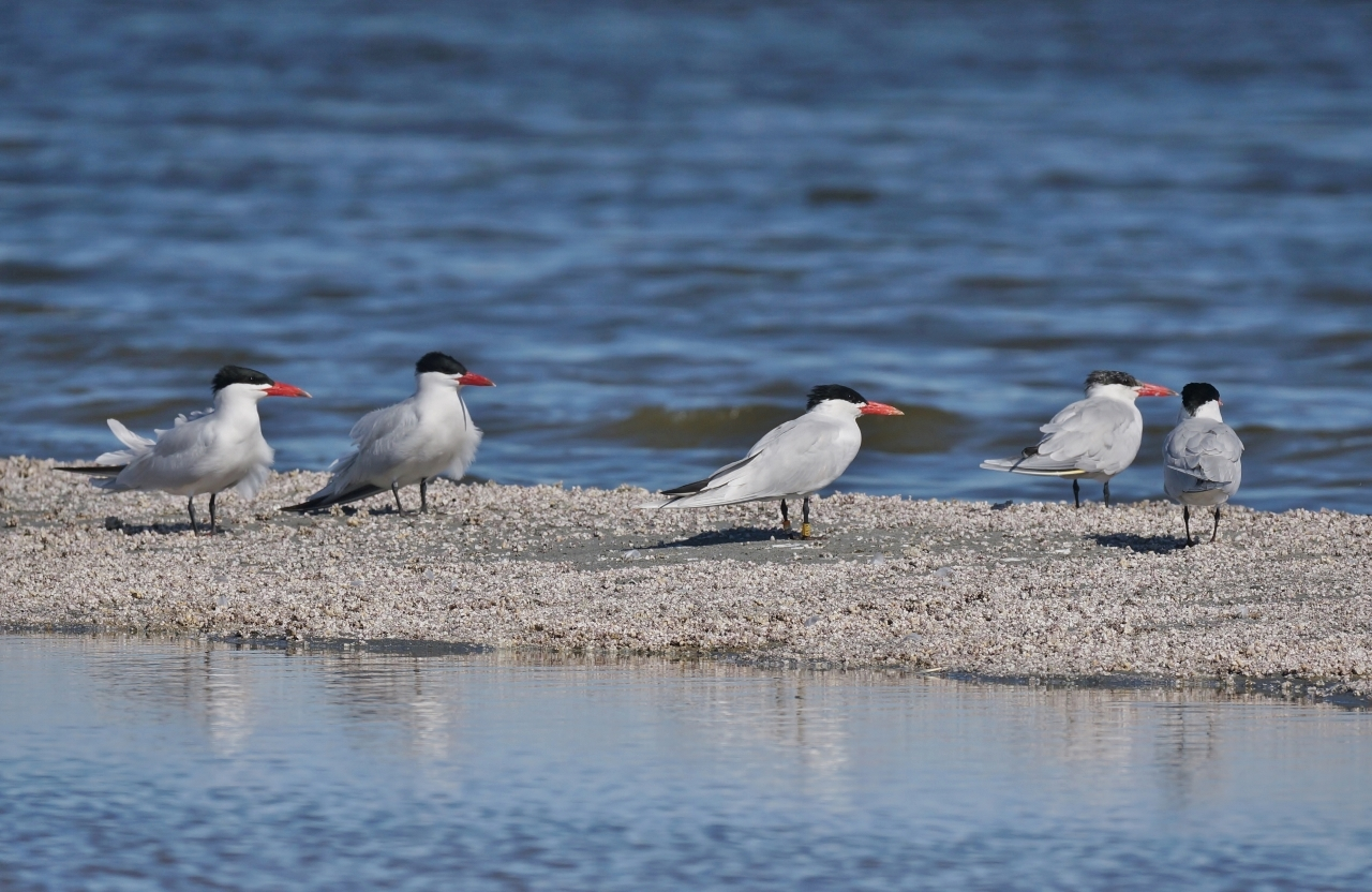 5 Caspian Tern Salton Sea Beach
