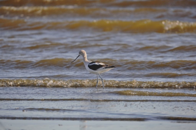 Avocet Solo looking left