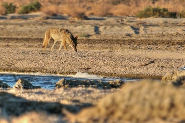 Coyote SS Beach
