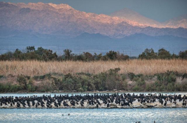 SBNWR Cormorant wide